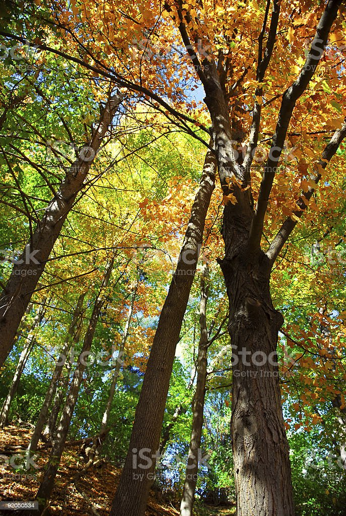 Fall forest royalty-free stock photo