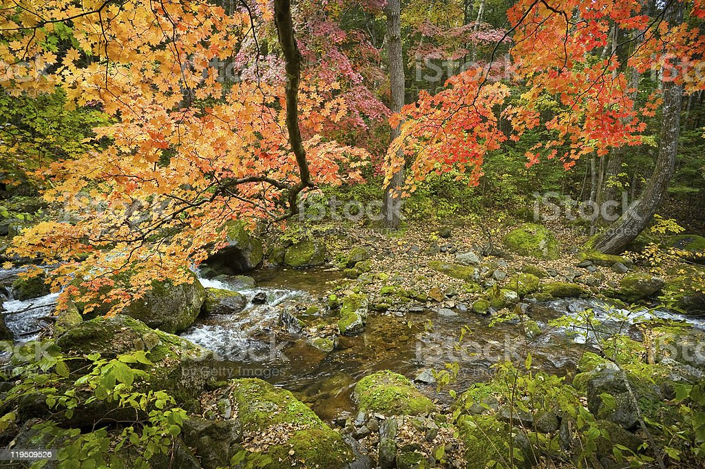 fall forest stream with red maple trees stock photo
