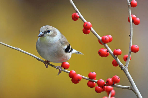 Fall Goldfinch stock photo