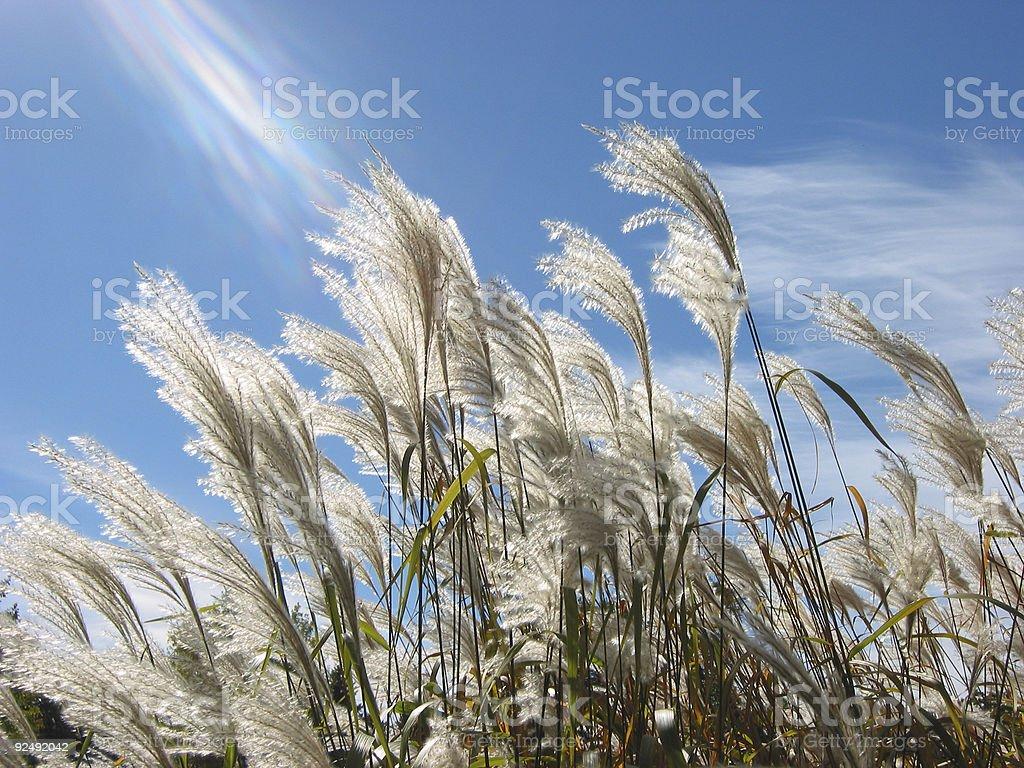 fall grasses 1 royalty-free stock photo
