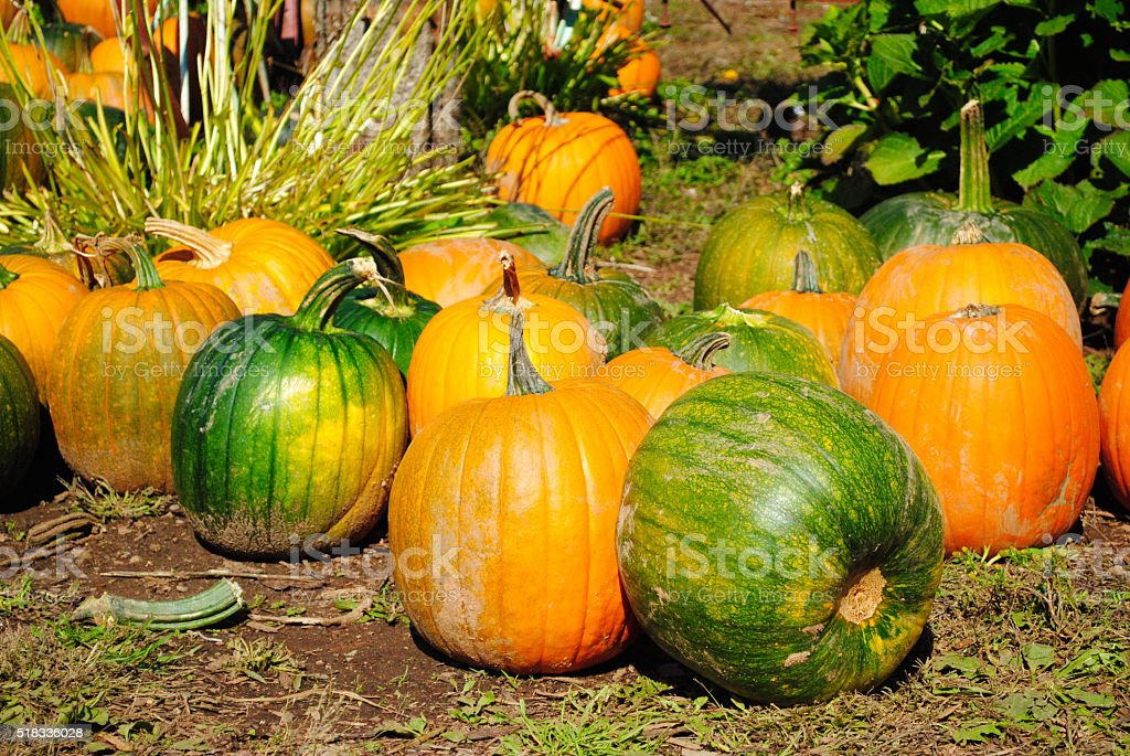 Fall Harvest Colorful Pumpkins stock photo