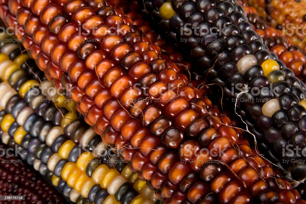 Fall Harvest Corn royalty-free stock photo