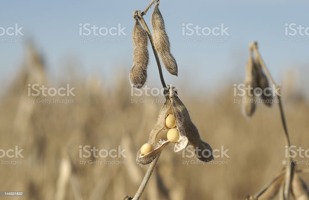 Fall Harvest: Soybeans royalty-free stock photo