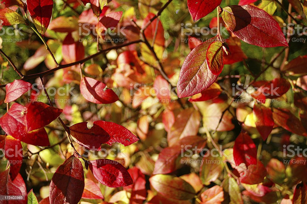 Fall huckleberry leaves royalty-free stock photo