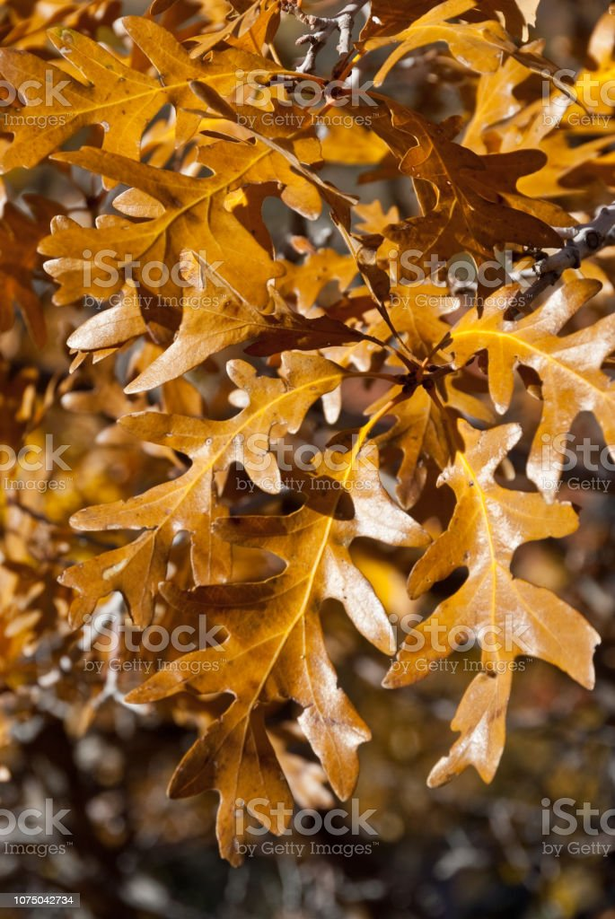 Oak Leaves in the Fall stock photo