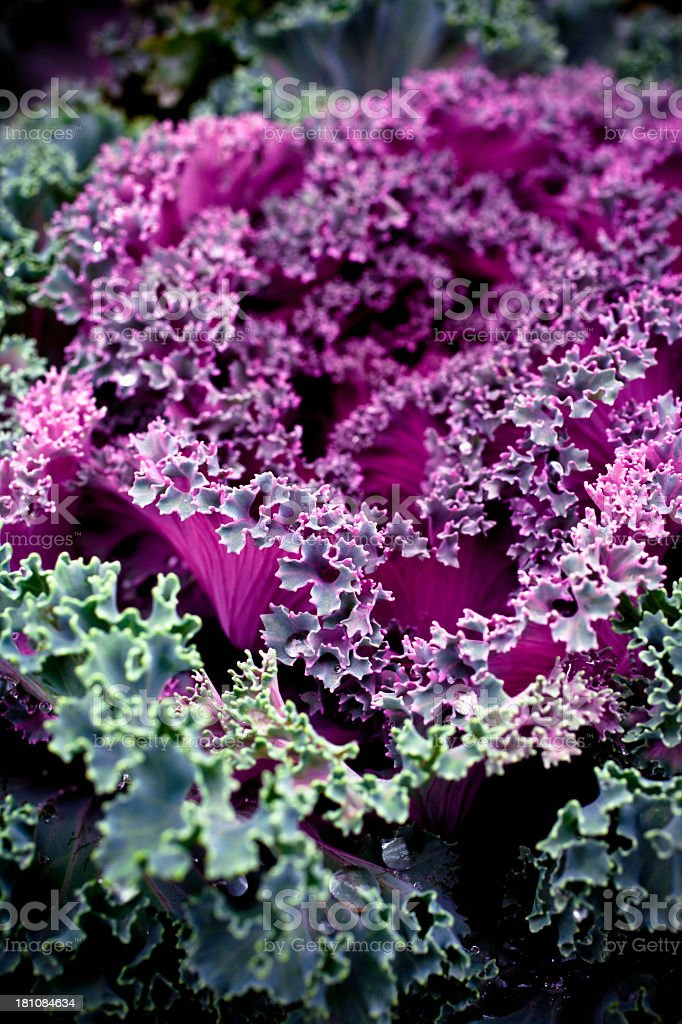Fall  kale cabbage stock photo