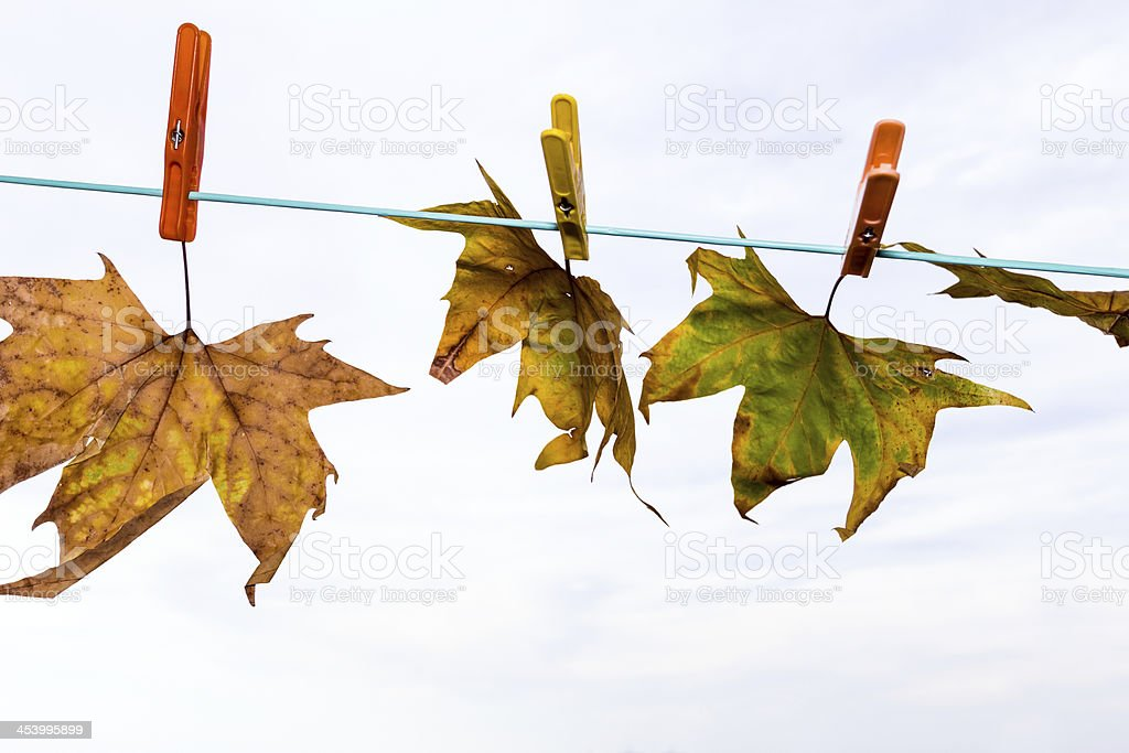 fall leaf drying royalty-free stock photo