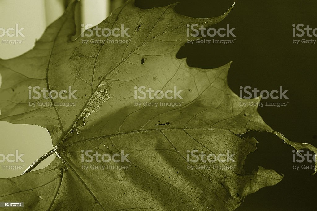 fall leaf in black and white royalty-free stock photo