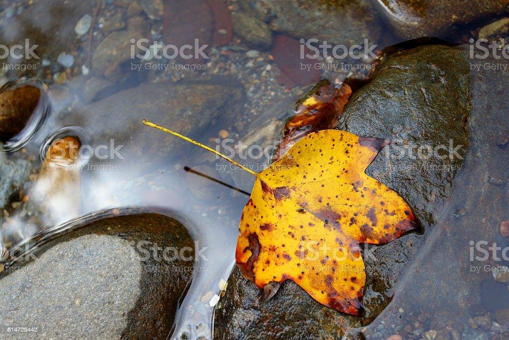 fall leaf in Little River stock photo