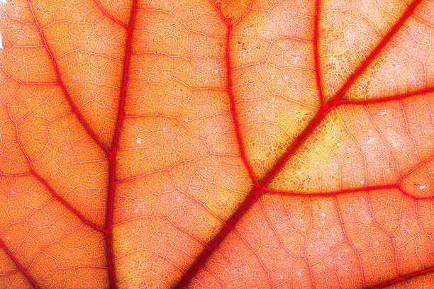 Fall Leaf Macro stock photo
