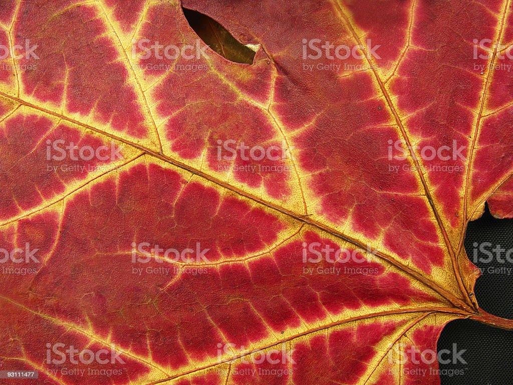 Fall leaf - Royalty-free Akçaağaç Yaprağı Stok görsel