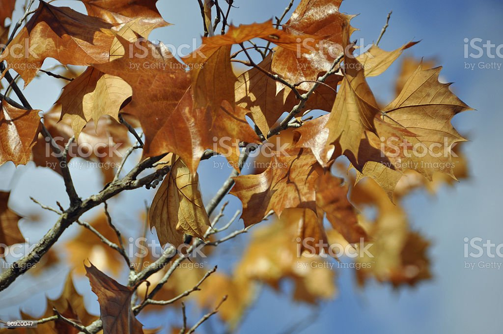 fall leaves against blue sky royalty-free stock photo