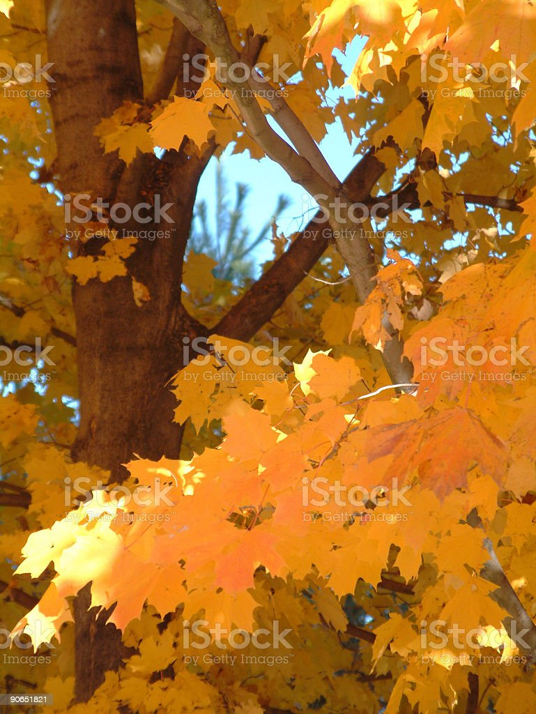 Fall Leaves and Branches royalty-free stock photo