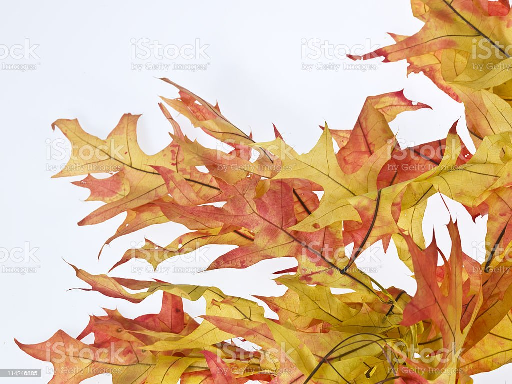 Fall Leaves Background - 31 megapixels royalty-free stock photo