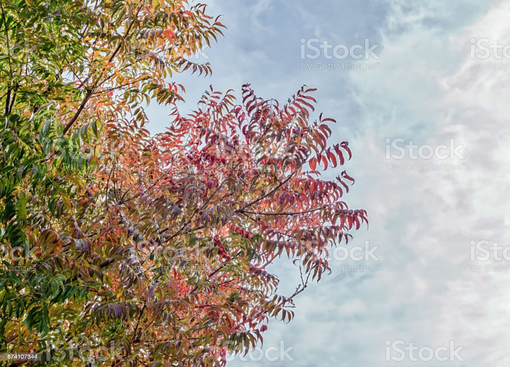Fall Leaves California Stock Photo More Pictures Of Acacia Tree