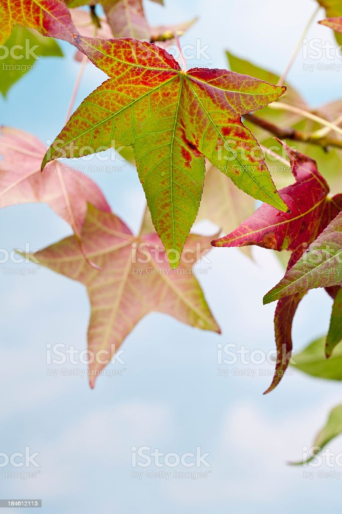 Fall Leaves Changing Colors royalty-free stock photo