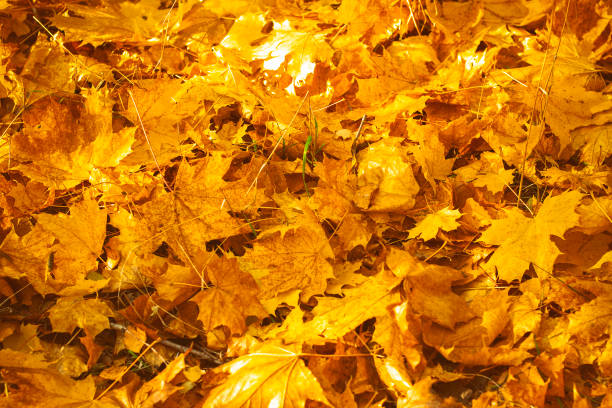Fall leaves for an autumn background stock photo