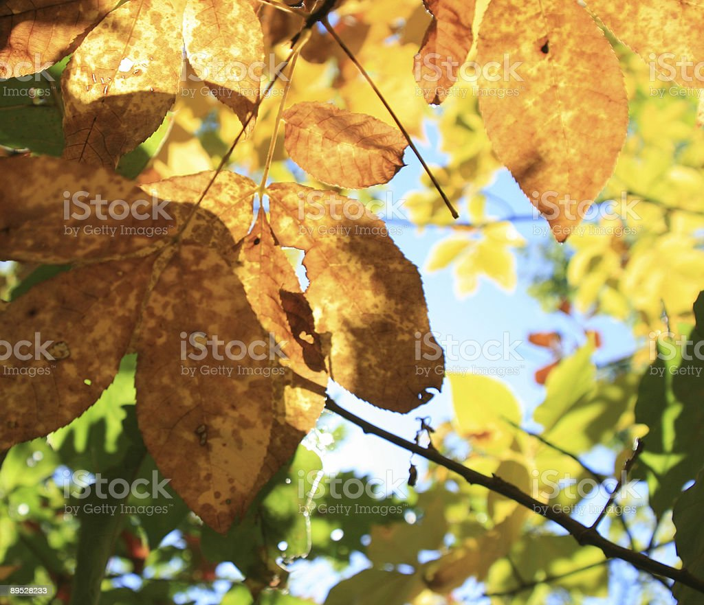 Fall Leaves In Sunlight royalty-free stock photo