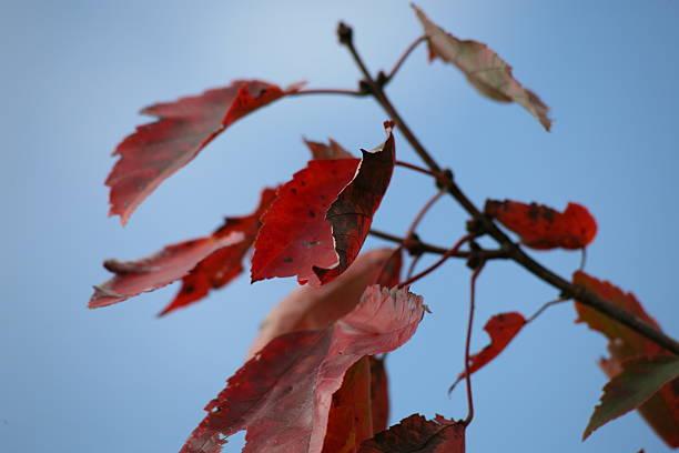 Fall Leaves on a Blue Sky stock photo