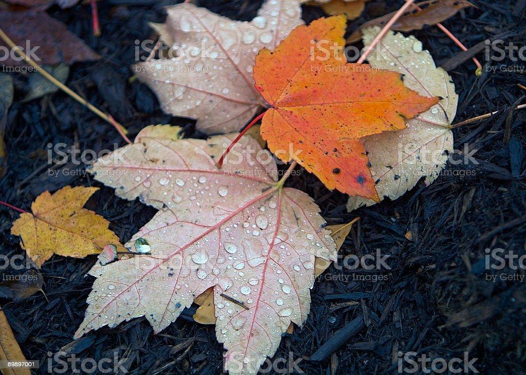 Herbst Blätter mit Regen-Tropfen Lizenzfreies stock-foto