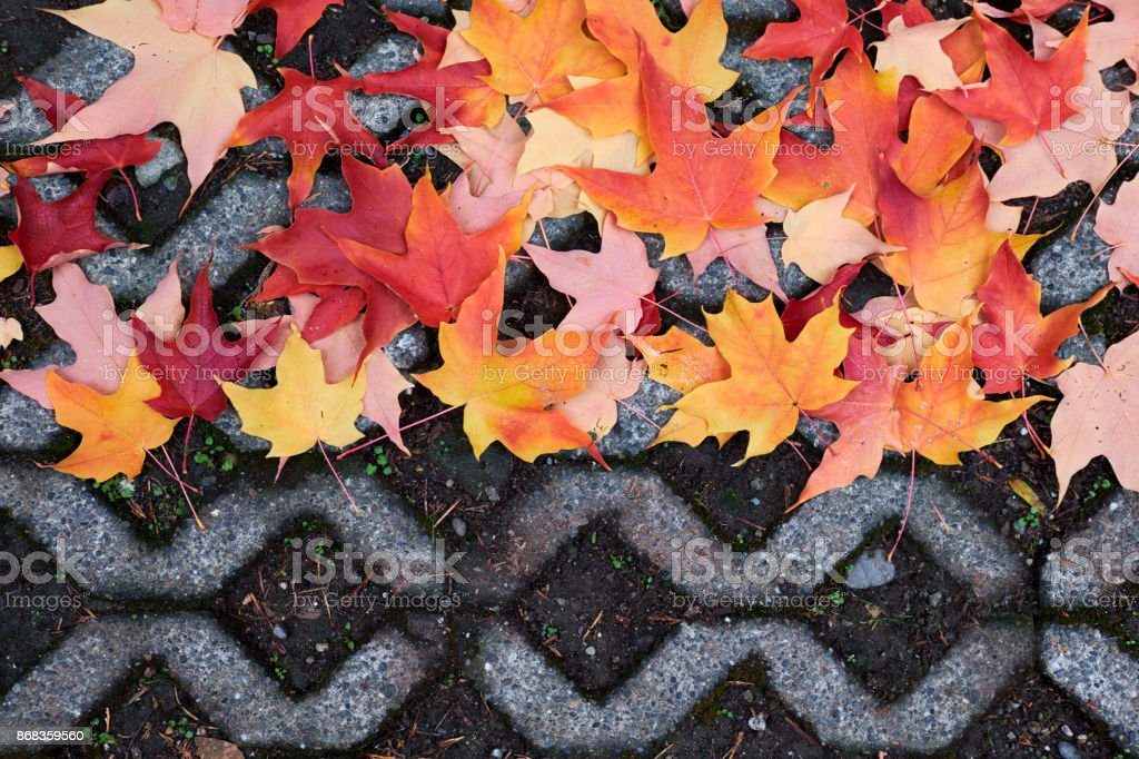 Fall Maple Leaves on Ground stock photo
