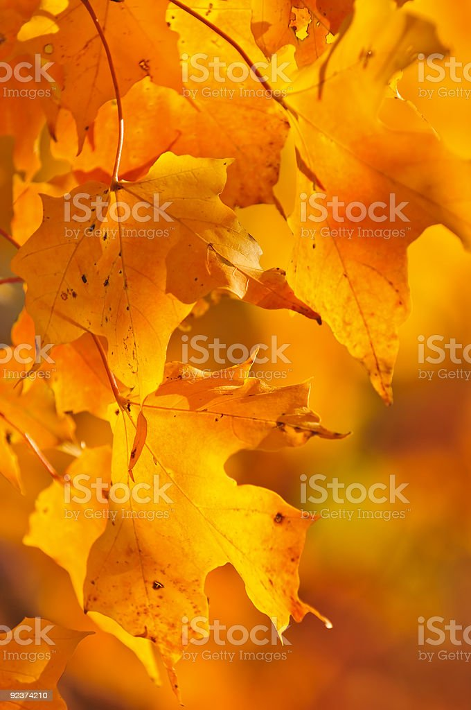 Fall maple leaves royalty-free stock photo