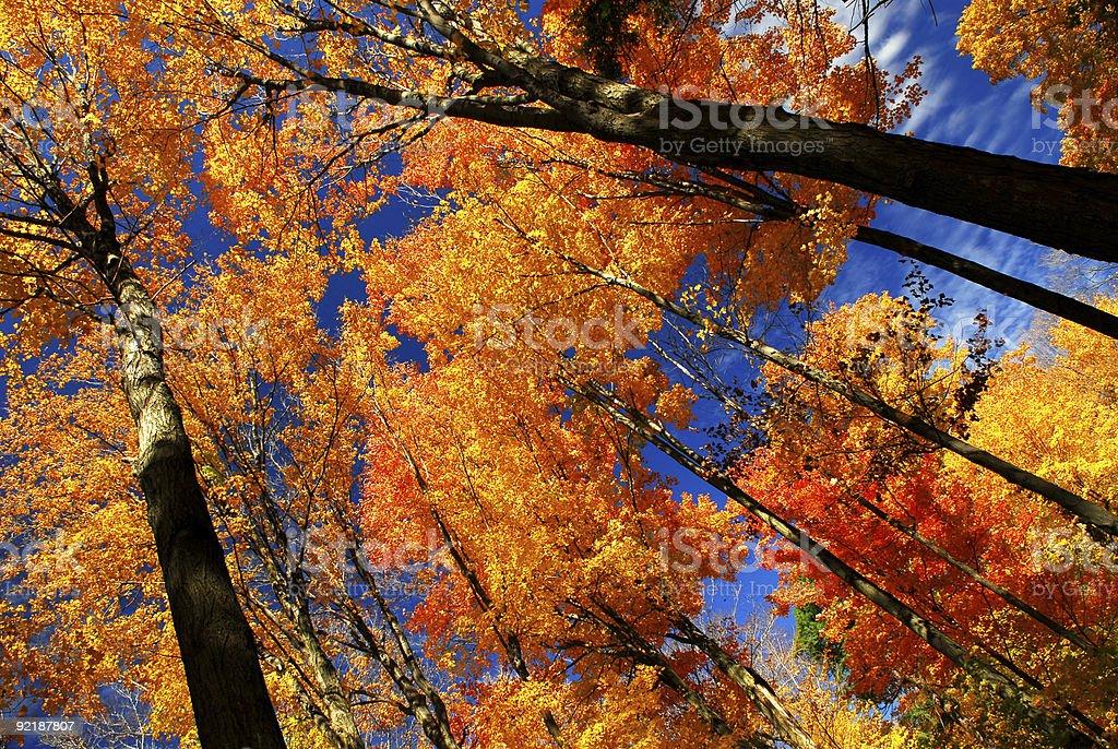 Fall maple trees royalty-free stock photo