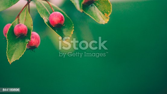 istock Fall nature background in green tones with red hawthorn berries 844189896