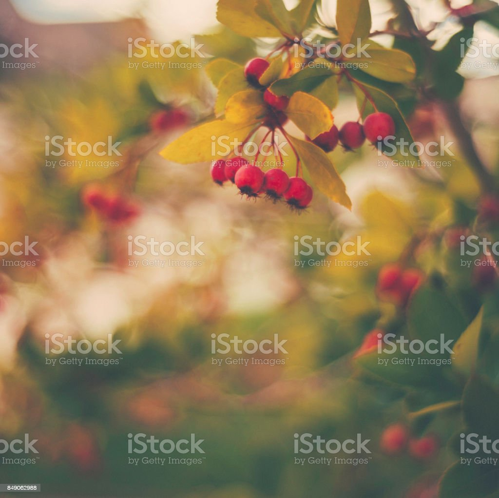 Fall nature image of hawthorn tree with berries stock photo