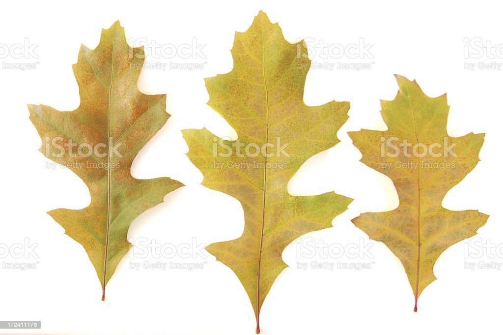 Fall oak Leaves royalty-free stock photo
