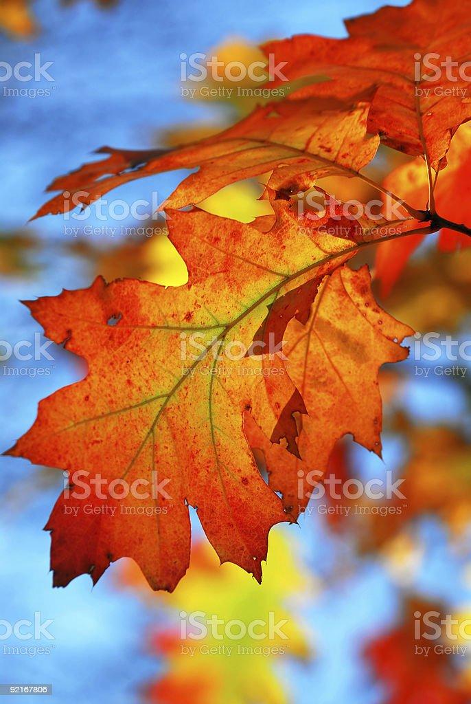 Fall oak leaves royalty-free stock photo