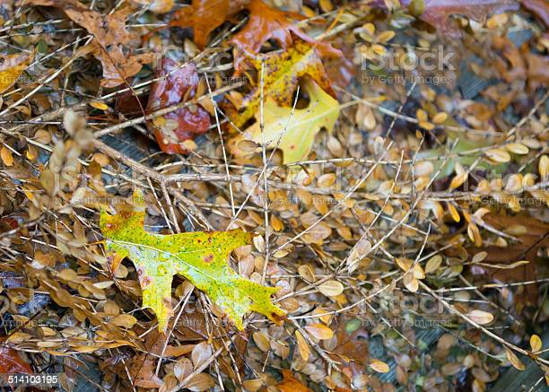 Photo of Fall Pin Oak Leaves on the ground
