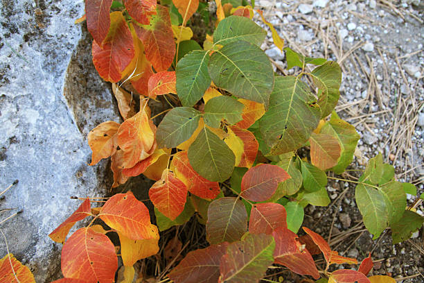 fall poison ivy stock photo