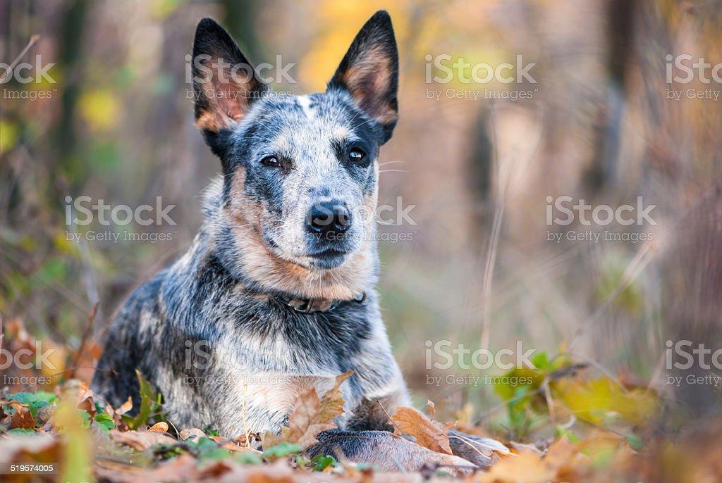 Jesień Portret Australijski pies pasterski – zdjęcie