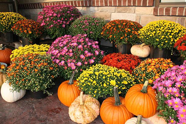 fall pumpkins and flowers - chrysant stockfoto's en -beelden