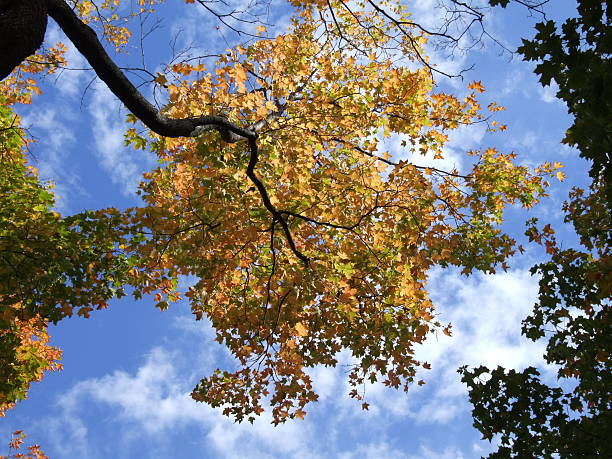 fall sugar maple tree against the blue sky - belkindesign stock pictures, royalty-free photos & images