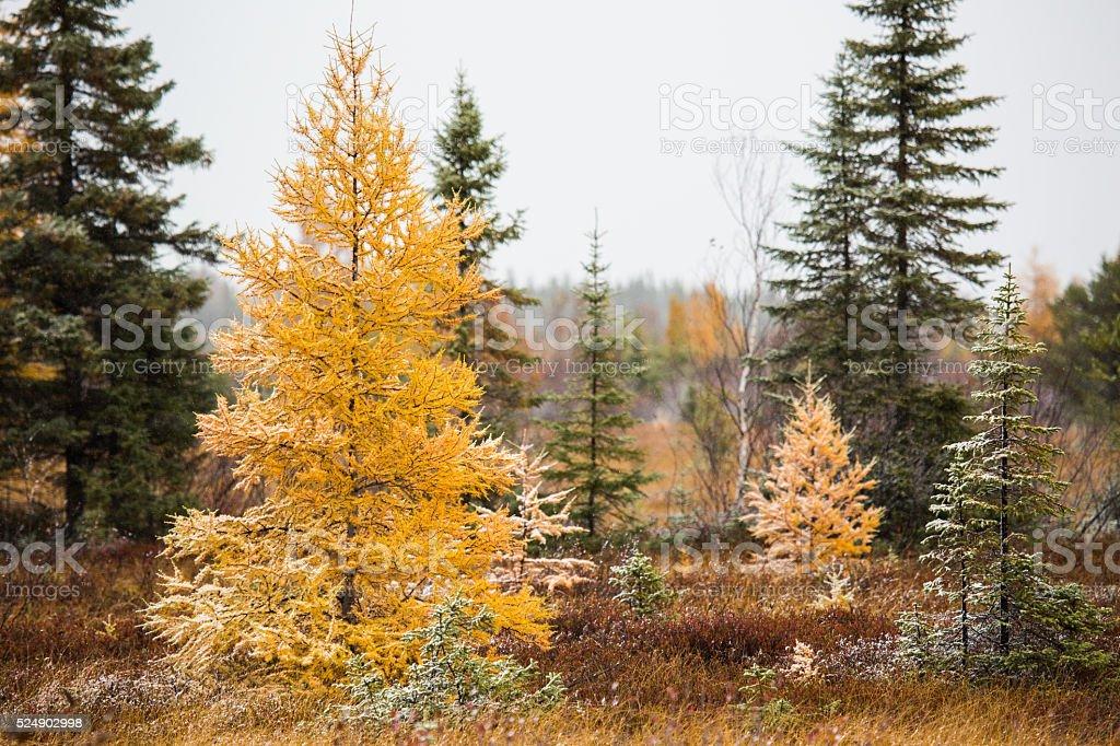 Alerce árbol de otoño - foto de stock
