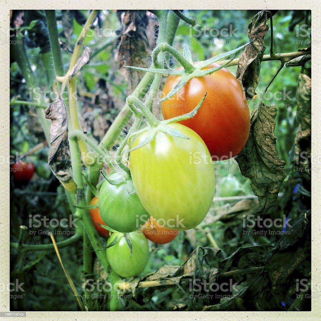 Fall Tomatoes royalty-free stock photo