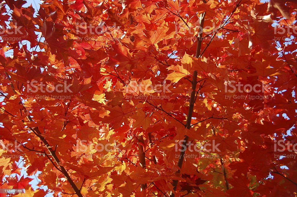 Fall Tree Color Fire stock photo