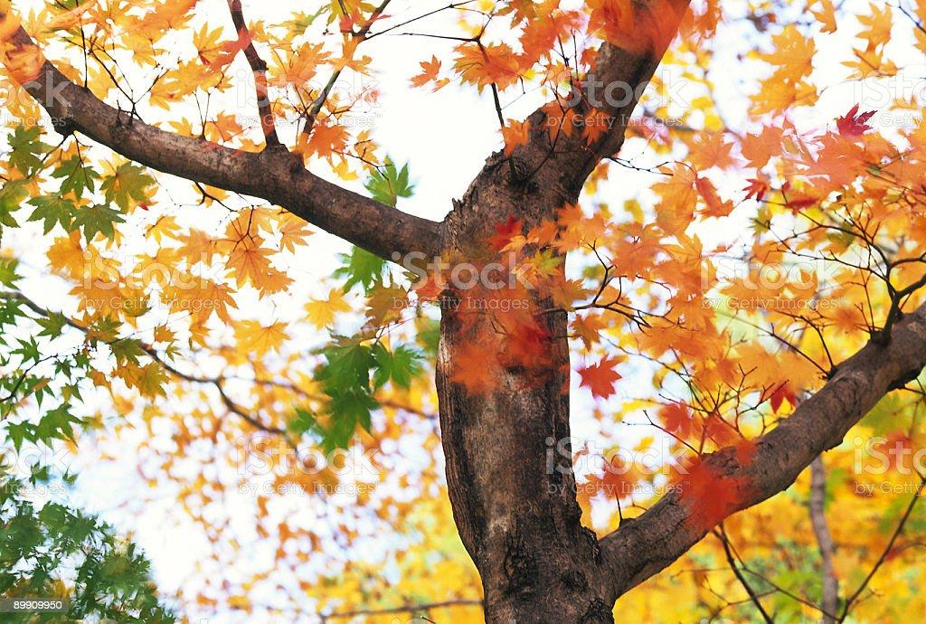 Fall tree royalty-free stock photo