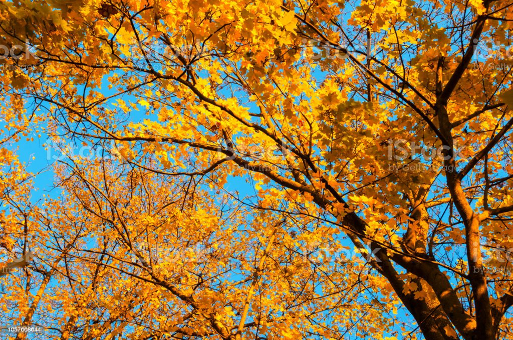 Fall Trees Background Maple Tree Branch With Orange Foliage Lit By