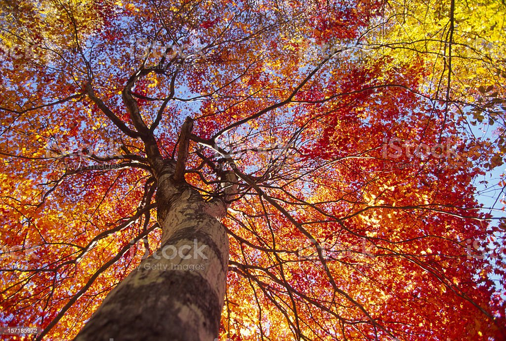 Fall Trees royalty-free stock photo