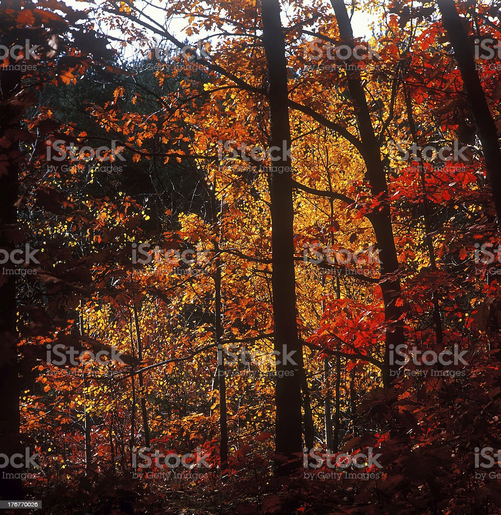 Fall trees. royalty-free stock photo