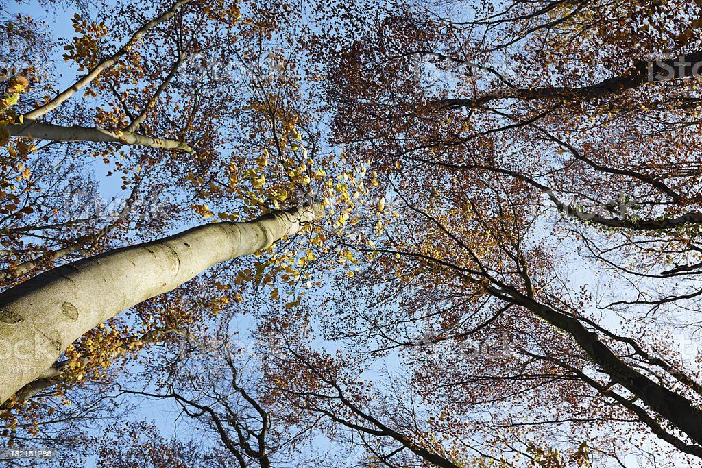 Fall trees royalty-free stock photo
