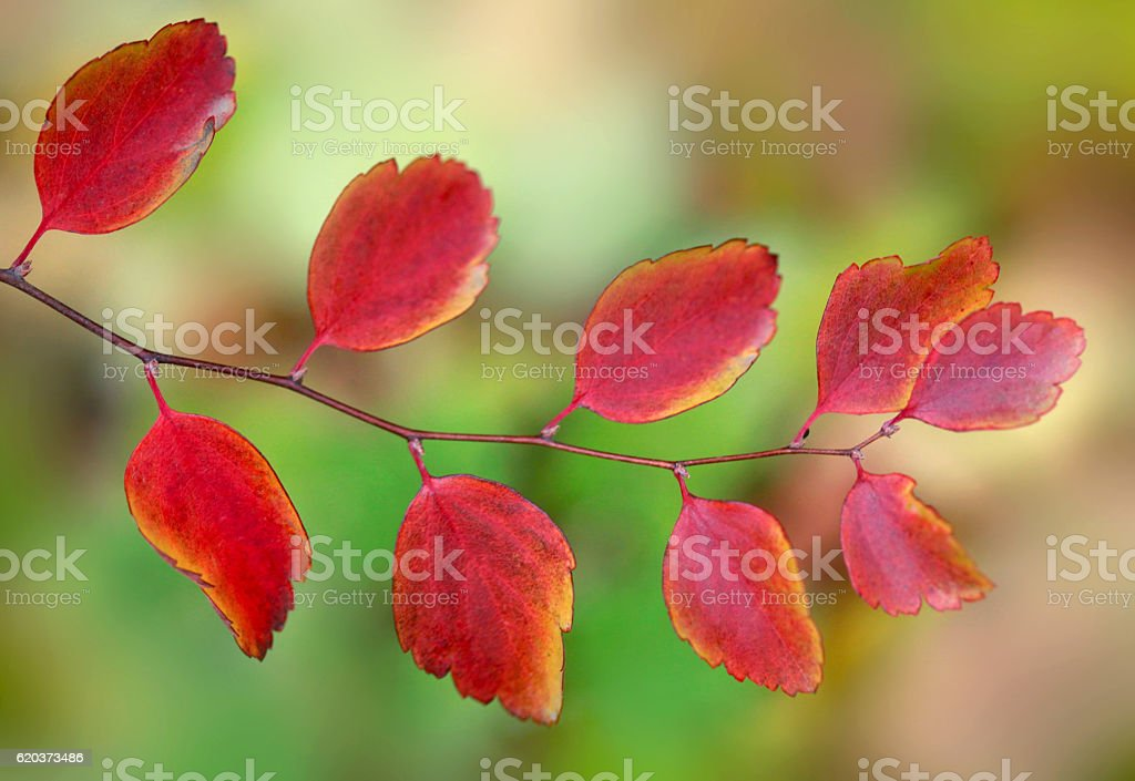 fall twig with red leaves foto de stock royalty-free