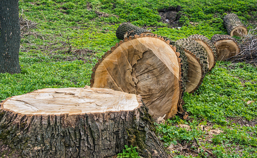 Fallen and sawn tree trunk for development