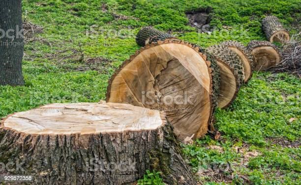 Photo of Fallen and sawn tree trunk for development