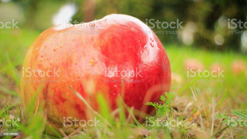 Fallen Apple in Orchard stock photo