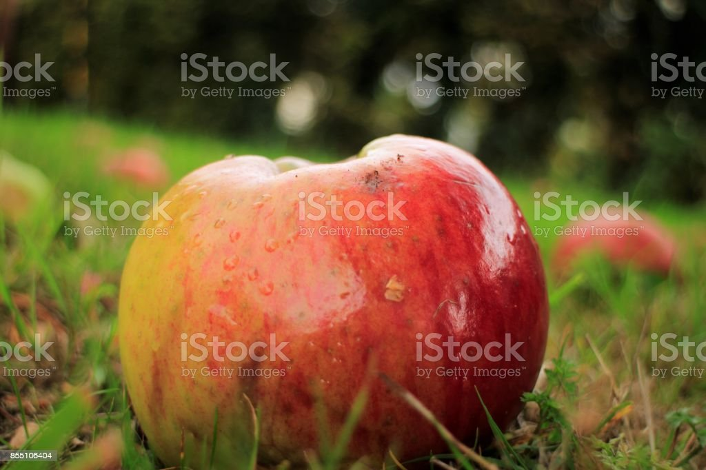 Fallen Apples in Orchard stock photo