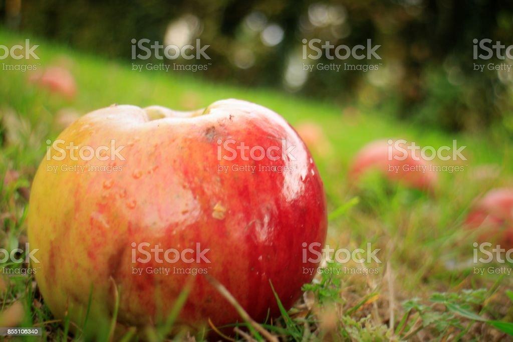Fallen Apples on Orchard Ground stock photo